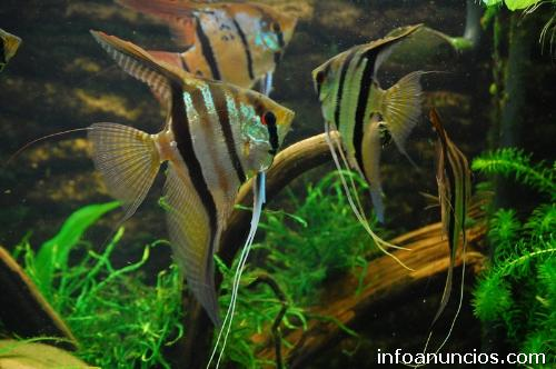 fotos de acuario s veal peces ornamentales en pisco